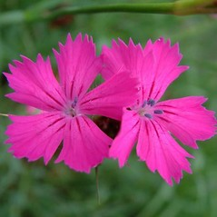 Flowers: Dianthus carthusianorum. ~ By Louis-M. Landry. ~ Copyright © 2020 Louis-M. Landry. ~ LM.Landry[at]videotron.ca  ~ CalPhotos - calphotos.berkeley.edu/flora/