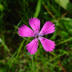 Flowers: Dianthus deltoides. ~ By Arthur Haines. ~ Copyright © 2020. ~ arthurhaines[at]wildblue.net