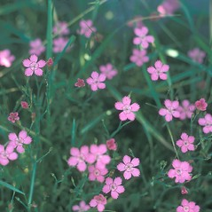 Flowers: Dianthus deltoides. ~ By Jean Baxter. ~ Copyright © 2019 New England Wild Flower Society. ~ Image Request, images[at]newenglandwild.org