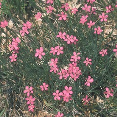 Plant form: Dianthus deltoides. ~ By John Lynch. ~ Copyright © 2019 New England Wild Flower Society. ~ Image Request, images[at]newenglandwild.org