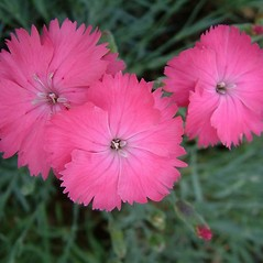 Flowers: Dianthus plumarius. ~ By Louis-M. Landry. ~ Copyright © 2020 Louis-M. Landry. ~ LM.Landry[at]videotron.ca  ~ CalPhotos - calphotos.berkeley.edu/flora/