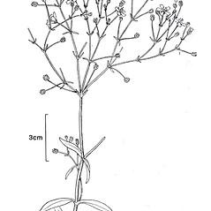 Plant form: Gypsophila elegans. ~ By New York State Museum. ~ Copyright © 2020 New York State Museum. ~ www.nysm.nysed.gov/imagerequest