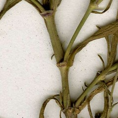 Stems: Gypsophila muralis. ~ By CONN Herbarium. ~ Copyright © 2018 CONN Herbarium. ~ Requests for image use not currently accepted by copyright holder ~ U. of Connecticut Herbarium - bgbaseserver.eeb.uconn.edu/