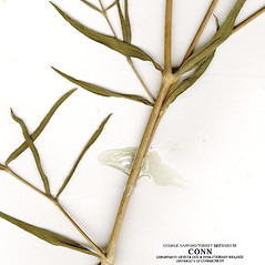Stems: Gypsophila paniculata. ~ By CONN Herbarium. ~ Copyright © 2017 CONN Herbarium. ~ Requests for image use not currently accepted by copyright holder ~ U. of Connecticut Herbarium - bgbaseserver.eeb.uconn.edu/