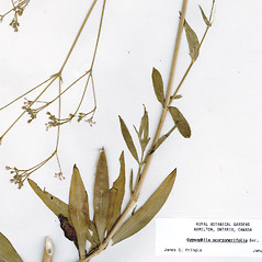 Leaves: Gypsophila scorzonerifolia. ~ By CONN Herbarium. ~ Copyright © 2019 CONN Herbarium. ~ Requests for image use not currently accepted by copyright holder ~ U. of Connecticut Herbarium - bgbaseserver.eeb.uconn.edu/