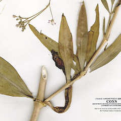 Stems: Gypsophila scorzonerifolia. ~ By CONN Herbarium. ~ Copyright © 2019 CONN Herbarium. ~ Requests for image use not currently accepted by copyright holder ~ U. of Connecticut Herbarium - bgbaseserver.eeb.uconn.edu/