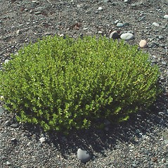 Plant form: Honckenya peploides. ~ By Arthur Haines. ~ Copyright © 2018. ~ arthurhaines[at]wildblue.net