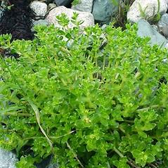 Plant form: Honckenya peploides. ~ By Glen Mittelhauser. ~ Copyright © 2019 Glen Mittelhauser. ~ www.mainenaturalhistory.org