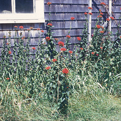 Plant form: Lychnis chalcedonica. ~ By Jean Baxter. ~ Copyright © 2019 New England Wild Flower Society. ~ Image Request, images[at]newenglandwild.org