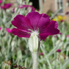 Flowers: Lychnis coronaria. ~ By Arthur Haines. ~ Copyright © 2020. ~ arthurhaines[at]wildblue.net