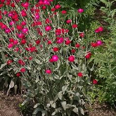 Plant form: Lychnis coronaria. ~ By Paul S. Drobot. ~ Copyright © 2019 Paul S. Drobot. ~ www.plantstogrow.com, www.plantstockphotos.com ~ Robert W. Freckmann Herbarium, U. of Wisconsin-Stevens Point