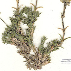 Leaves: Minuartia caroliniana. ~ By CONN Herbarium. ~ Copyright © 2018 CONN Herbarium. ~ Requests for image use not currently accepted by copyright holder ~ U. of Connecticut Herbarium - bgbaseserver.eeb.uconn.edu/