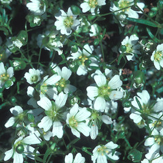 Flowers: Minuartia glabra. ~ By William Larkin. ~ Copyright © 2018 New England Wild Flower Society. ~ Image Request, images[at]newenglandwild.org