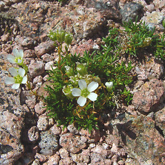 Plant form: Minuartia groenlandica. ~ By Arthur Haines. ~ Copyright © 2020. ~ arthurhaines[at]wildblue.net