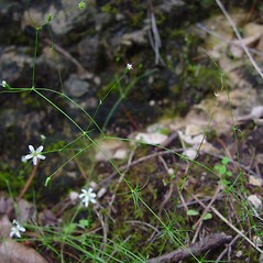 Plant form: Minuartia michauxii. ~ By Arthur Haines. ~ Copyright © 2020. ~ arthurhaines[at]wildblue.net