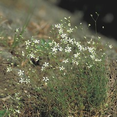 Plant form: Minuartia michauxii. ~ By Arieh Tal. ~ Copyright © 2019 Arieh Tal. ~ http://botphoto.com/ ~ Arieh Tal - botphoto.com