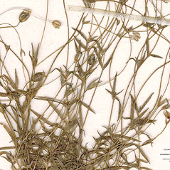 Leaves: Minuartia rubella. ~ By CONN Herbarium. ~ Copyright © 2019 CONN Herbarium. ~ Requests for image use not currently accepted by copyright holder ~ U. of Connecticut Herbarium - bgbaseserver.eeb.uconn.edu/