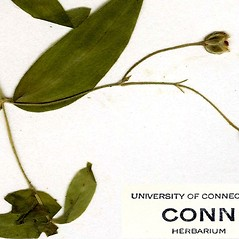 Fruits: Moehringia lateriflora. ~ By CONN Herbarium. ~ Copyright © 2018 CONN Herbarium. ~ Requests for image use not currently accepted by copyright holder ~ U. of Connecticut Herbarium - bgbaseserver.eeb.uconn.edu/