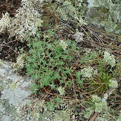 Plant form: Paronychia argyrocoma. ~ By Arthur Haines. ~ Copyright © 2017. ~ arthurhaines[at]wildblue.net
