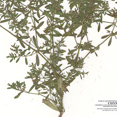 Leaves: Paronychia fastigiata. ~ By CONN Herbarium. ~ Copyright © 2019 CONN Herbarium. ~ Requests for image use not currently accepted by copyright holder ~ U. of Connecticut Herbarium - bgbaseserver.eeb.uconn.edu/