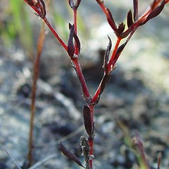 Stems: Paronychia fastigiata. ~ By Arthur Haines. ~ Copyright © 2019. ~ arthurhaines[at]wildblue.net