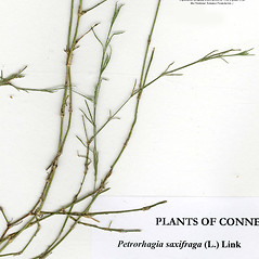 Leaves: Petrorhagia saxifraga. ~ By CONN Herbarium. ~ Copyright © 2020 CONN Herbarium. ~ Requests for image use not currently accepted by copyright holder ~ U. of Connecticut Herbarium - bgbaseserver.eeb.uconn.edu/