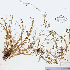 Plant form: Sagina maxima. ~ By William and Linda Steere and the C.V. Starr Virtual Herbarium. ~ Copyright © 2018 William and Linda Steere and the C.V. Starr Virtual Herbarium. ~ Barbara Thiers, Director; bthiers[at]nybg.org ~ C.V. Starr Herbarium - NY Botanical Gardens