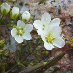 Flowers: Sagina nodosa. ~ By Glen Mittelhauser. ~ Copyright © 2018 Glen Mittelhauser. ~ www.mainenaturalhistory.org