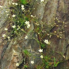Plant form: Sagina nodosa. ~ By Glen Mittelhauser. ~ Copyright © 2018 Glen Mittelhauser. ~ www.mainenaturalhistory.org