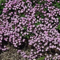 Plant form: Saponaria ocymoides. ~ By Paul S. Drobot. ~ Copyright © 2018 Paul S. Drobot. ~ www.plantstogrow.com, www.plantstockphotos.com ~ Robert W. Freckmann Herbarium, U. of Wisconsin-Stevens Point