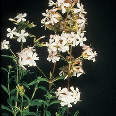 Plant form: Saponaria officinalis. ~ By George Lienau. ~ Copyright © 2019 New England Wild Flower Society. ~ Image Request, images[at]newenglandwild.org
