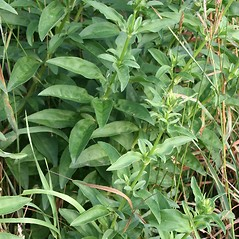 Leaves: Saponaria officinalis. ~ By Arieh Tal. ~ Copyright © 2020 Arieh Tal. ~ http://botphoto.com/ ~ Arieh Tal - botphoto.com