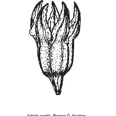 Fruits: Scleranthus annuus. ~ By Regina O. Hughes. ~  Public Domain. ~  ~ Reed, C.F. 1970. Selected weeds of the United States. USDA Agric. Res. Ser. Agric. Handbook 336