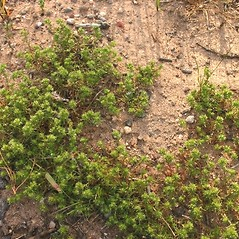 Plant form: Scleranthus perennis. ~ By Steve Garske. ~ Copyright © 2018 Steve Garske. ~ asimina[at]alphacomm.net