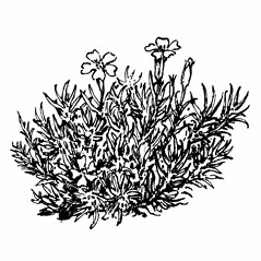 Plant form: Silene acaulis. ~ By Gordon Morrison. ~ Copyright © 2019 New England Wild Flower Society. ~ Image Request, images[at]newenglandwild.org