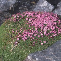 Plant form: Silene acaulis. ~ By Ted Scott. ~ Copyright © 2018 New England Wild Flower Society. ~ Image Request, images[at]newenglandwild.org