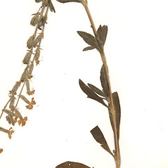Leaves: Silene dichotoma. ~ By CONN Herbarium. ~ Copyright © 2019 CONN Herbarium. ~ Requests for image use not currently accepted by copyright holder ~ U. of Connecticut Herbarium - bgbaseserver.eeb.uconn.edu/