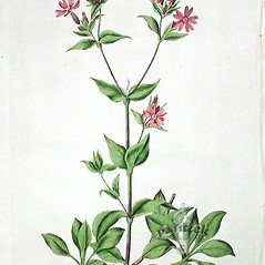 Plant form: Silene dioica. ~ By William Curtis. ~  Public Domain. ~ None needed ~ Robert W. Freckmann Herbarium, U. of Wisconsin-Stevens Point