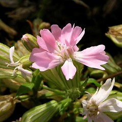 Flowers: Silene pendula. ~ By Petr Kocna. ~ Copyright © 2019 CC BY-SA 3.0. ~  ~ Biolib - www.biolib.cz