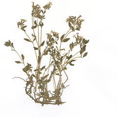 Plant form: Silene pendula. ~ By CONN Herbarium. ~ Copyright © 2019 CONN Herbarium. ~ Requests for image use not currently accepted by copyright holder ~ U. of Connecticut Herbarium - bgbaseserver.eeb.uconn.edu/