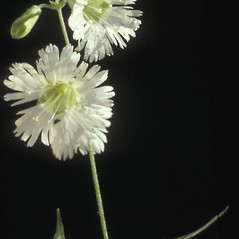 Flowers: Silene stellata. ~ By Albert Bussewitz. ~ Copyright © 2020 New England Wild Flower Society. ~ Image Request, images[at]newenglandwild.org