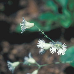 Flowers: Silene stellata. ~ By John Lynch. ~ Copyright © 2020 New England Wild Flower Society. ~ Image Request, images[at]newenglandwild.org