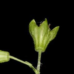 Fruits: Silene stellata. ~ By John Gwaltney. ~ Copyright © 2019 John Gwaltney. ~ southeasternflora.com ~ Southeastern Flora - www.southeasternflora.com/