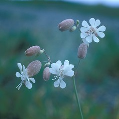 Flowers: Silene vulgaris. ~ By Frank Bramley. ~ Copyright © 2020 New England Wild Flower Society. ~ Image Request, images[at]newenglandwild.org