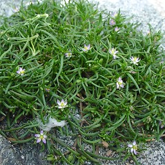 Plant form: Spergularia marina. ~ By Glen Mittelhauser. ~ Copyright © 2018 Glen Mittelhauser. ~ www.mainenaturalhistory.org