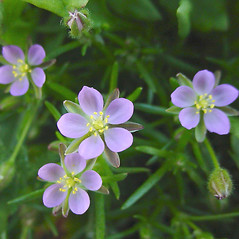 Flowers: Spergularia rubra. ~ By Glen Mittelhauser. ~ Copyright © 2019 Glen Mittelhauser. ~ www.mainenaturalhistory.org