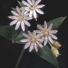 Flowers: Stellaria corei. ~ By Adelaide Pratt. ~ Copyright © 2019 New England Wild Flower Society. ~ Image Request, images[at]newenglandwild.org