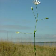 Plant form: Stellaria graminea. ~ By Glen Mittelhauser. ~ Copyright © 2018 Glen Mittelhauser. ~ www.mainenaturalhistory.org