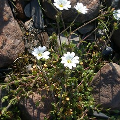 Plant form: Stellaria humifusa. ~ By Mary Ellen Harte. ~ Copyright © 2017 CC BY-NC 3.0. ~  ~ Bugwood - www.bugwood.org/