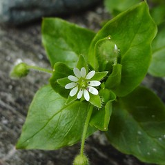 Flowers: Stellaria media. ~ By Glen Mittelhauser. ~ Copyright © 2019 Glen Mittelhauser. ~ www.mainenaturalhistory.org